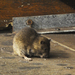 Rats! New York City Tries To Drain Rodent 'Reservoirs'