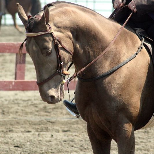 Tennessee walking horses have a distinctive, high-stepping gait -- but animal rights groups say that trainers regularly abuse the animals to make their steps more impressive.