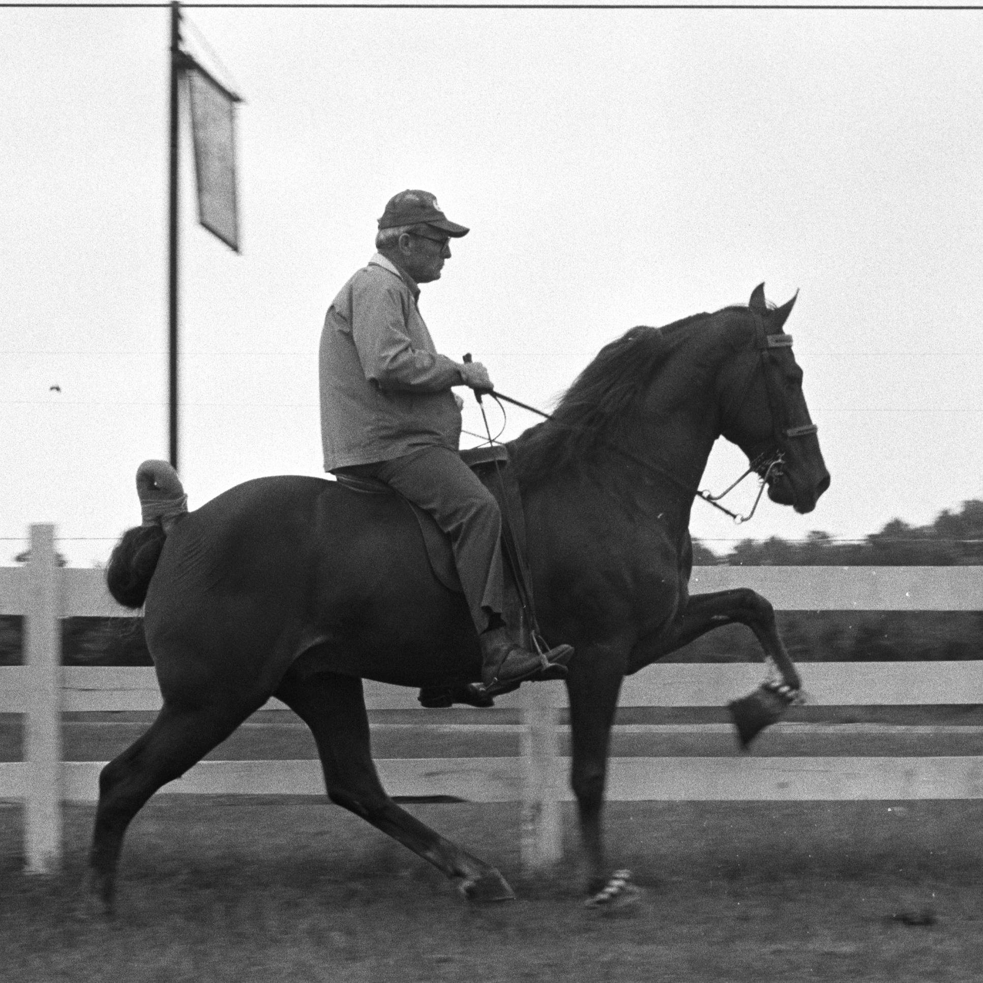A Tennessee walking horse is put through its paces on a horse farm in October 1975. Celebrations of the breed's distinctive gait are a 75-year-old tradition, but animal rights activists say that for many of those decades, the walking horse industry has been abusing animals to get their knees even higher.