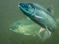 Across Washington State, hydroelectric dams are blocking salmon as they migrate to their spawning grounds. Enter the salmon cannon.