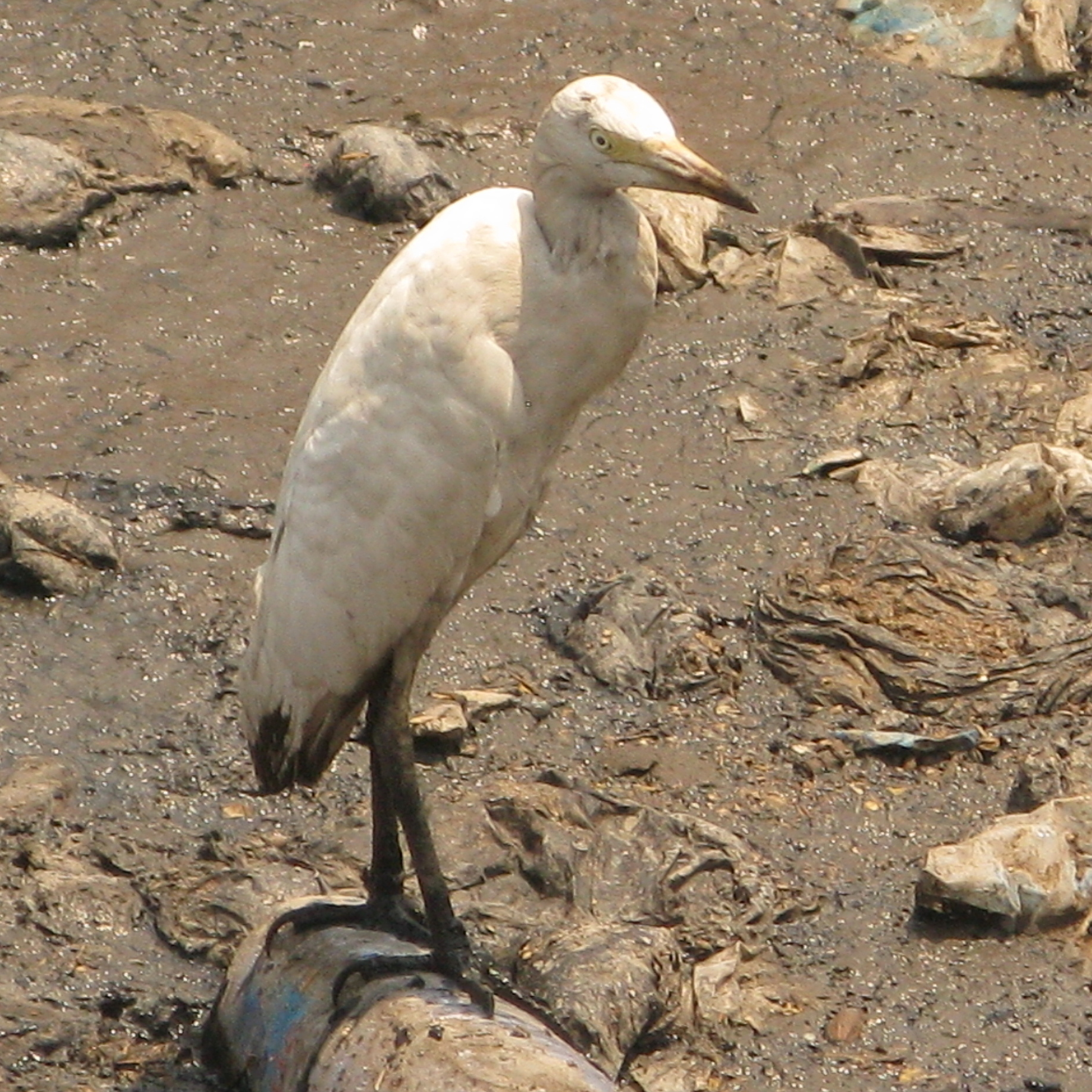 The first murder victim of Quartey's Children of the Street is found in Agbogbloshie's putrid canal, where white egrets eke out an existence picking at garbage for food.