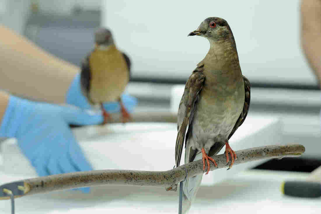 Martha (right), an extinct passenger pigeon, at the Smithsonian's Natural history Museum in Washington. The passenger pigeon was once the world's most plentiful bird. Sept. 1 is the centenary of the bird's extinction.