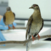 It Has Been 100 Years Since The Passenger Pigeon Became Extinct