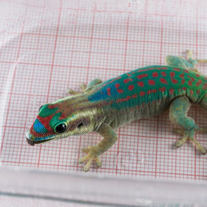 A brave geckonaut from Russia's Institute Biomedical Problems.