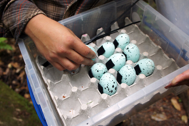 A box of chicken eggs painted to look like marbled murrelet eggs. The eggs contain a chemical that induces vomiting. Scientists are trying to teach the endangered bird's predator, a type of jay, to avoid murrelet eggs.