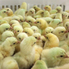 "Chicks in the Perdue hatchery in Salisbury, Md. The company says an increasing number of its chickens are now raised using ""no antibiotics, ever."""