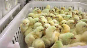 "Chicks in the Perdue hatchery in Salisbury, Md. The company says an increasing number of its chickens are now raised using ""no antibiotics, ever"