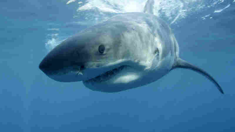 A great white shark swims near Guadalupe Island off the coast of Mexico in a promotional image for Discovery Channel's Shark Week in 2013. The network special Megalodon: The Monster Shark Lives opened Discovery's annual Shark Week programming in 2013.