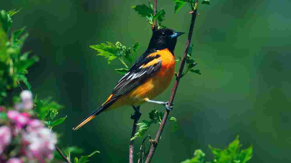 More Than Half Of U.S. Bird Species Threatened By Climate Change