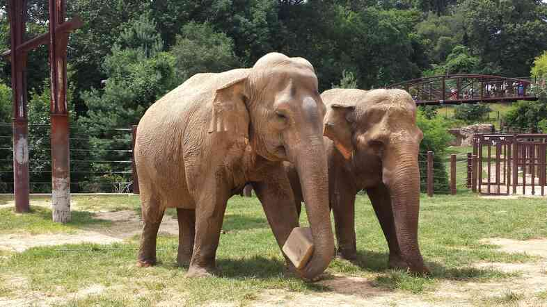 Bozie, a DC elephant, and Swarna, a recent arrival from Calgary, get to know each other.