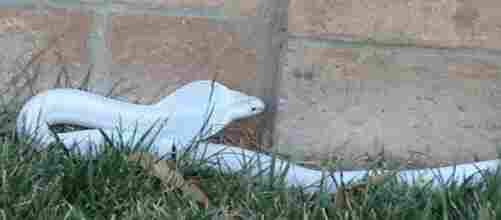 Authorities were hunting for this albino cobra in a Los Angeles suburb.