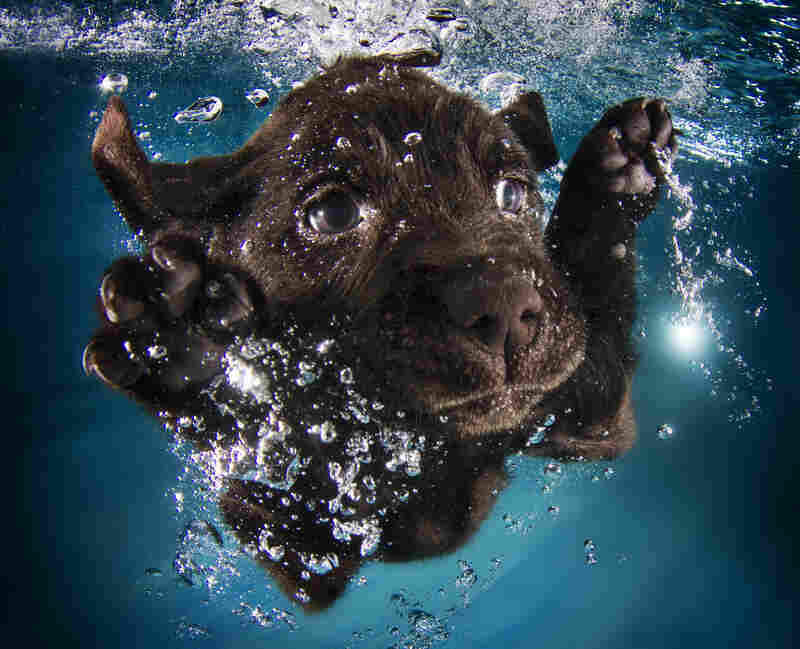 Ruger: black Labrador retriever, 7 weeks
