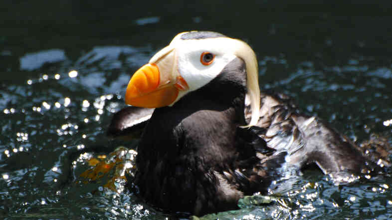 The New England Aquarium traded 800 mackerel for 12 puffins.