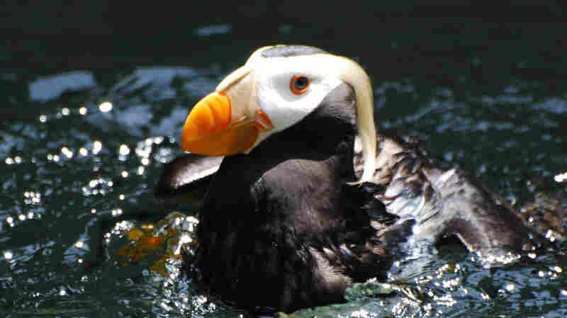 The New England Aquarium traded 800 mackerel for 12 puffins.