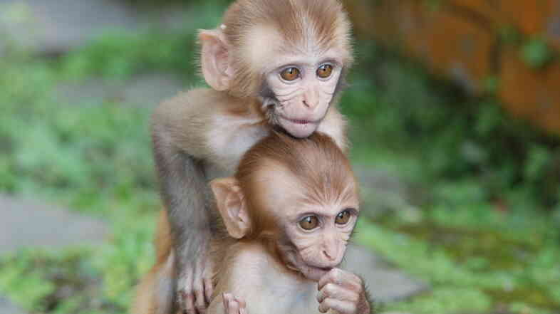 Rhesus monkeys.