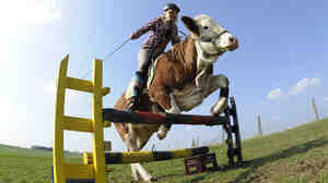 Yes, indeed, cows can leap. Here, Regina Mayer jumps with her cow Luna — yes, Luna — over a hurdle in southern Germany, in 2011.