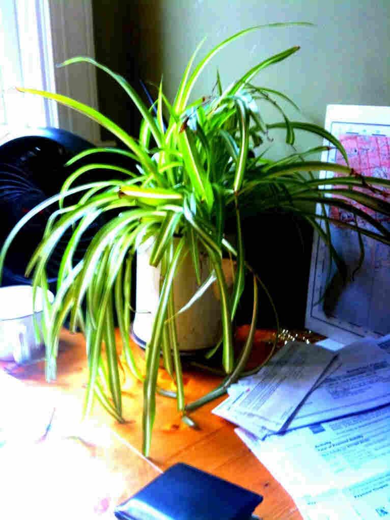 A desk plant.