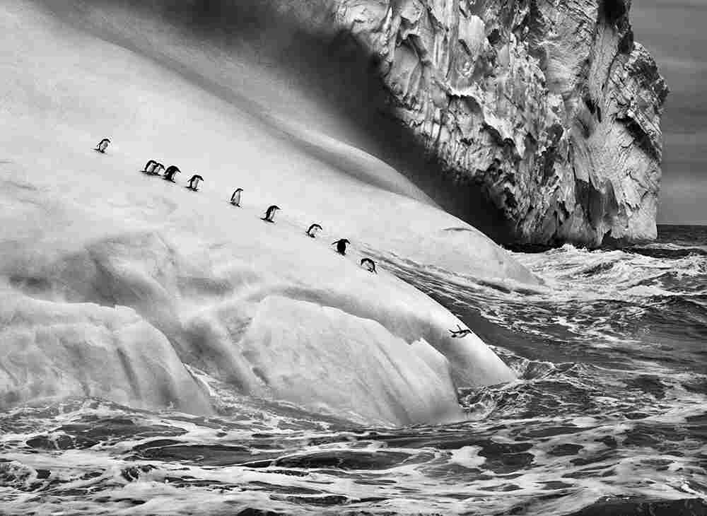 Chinstrap penguins on icebergs located between Zavodovski and Visokoi islands in the South Sandwich Islands. 2009.