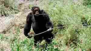 A full-grown male chimpanzee carries a stick at the Sweetwaters Chimpanzee Sanctuary in Kenya. The sanctuary is the work of primatologist Jane Goodall.