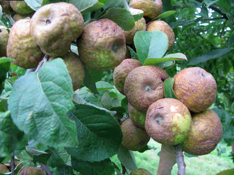 Goodband compares these Knobbed Russets to shrunken heads. Others say potatoes or toads. They're all gnarled and warty and brown, but don't be intimidated: They taste great when ripe. They originated in Sussex, England, in 1819.
