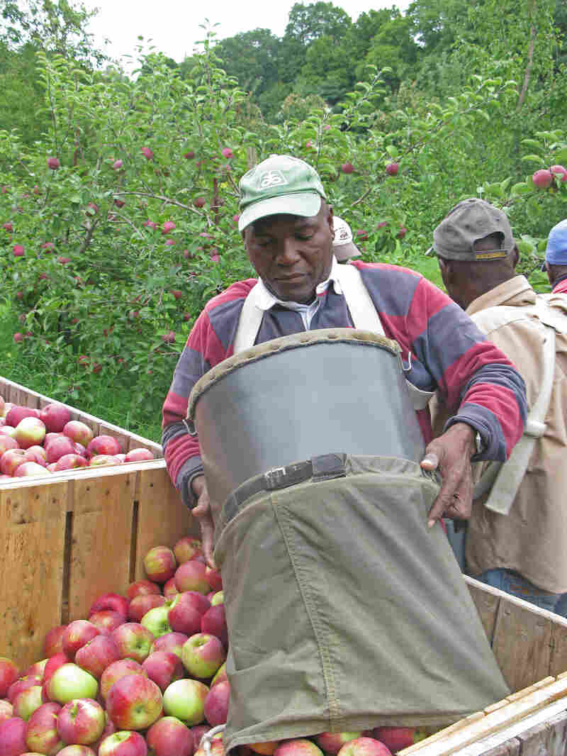 "The canvas bag opens to the bottom, and the apples are rolled out slowly to avoid bruising. Ira Thompson gently rolls a basketful of Cortland apples into the bin. ""Fifty percent red, 2 1/2 inches, no bruises!"" That's the pickers' motto."
