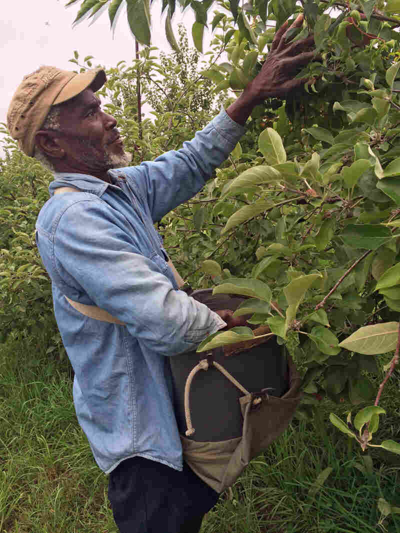Like many of the men in the picking crew, Gooden has picked apples at Scott Farm for years.