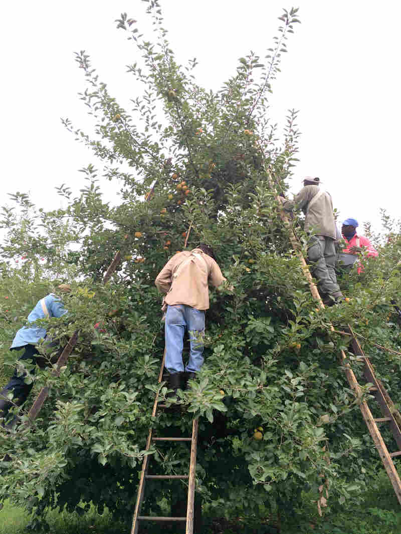 The workers balance their ladders against one another for stability.