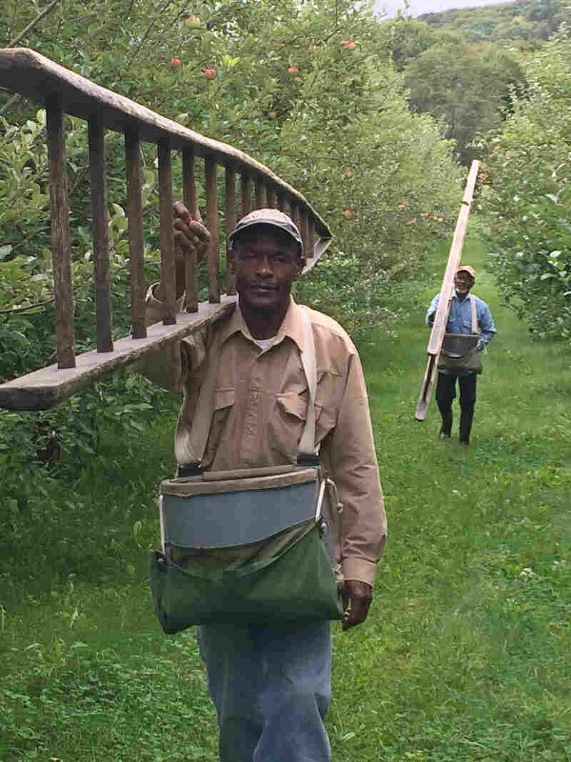 Scott Farm's picking crew is made up of six men, all from Jamaica, in their 50s and 60s. Fredson Brissett (left) and Keith Gooden (right) walk through the orchards with their tree-top-tall ladders.