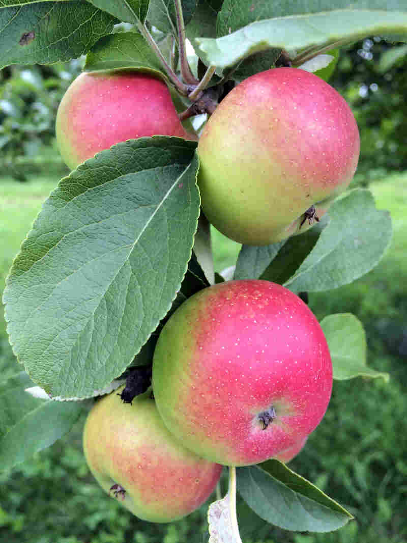 Lady apples, often used in Christmas decorations, date back to the 1500s in Brittany, France. Orchard manager Ezekiel Goodband says women in the Renaissance would tuck them into their bosom and bite into them to freshen their breath. The DNA of these heirloom apples has been passed down over hundreds of years, and Goodband is one link in that chain.