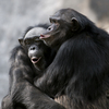 Why Do You Care About Fairness? Ask A Chimp