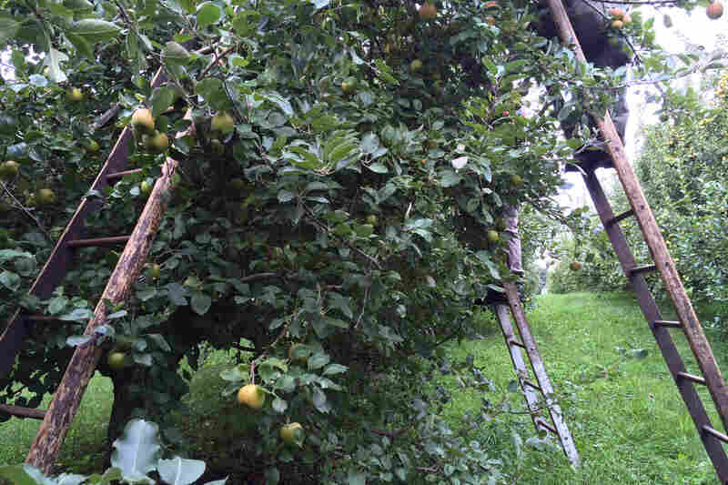 The 18-foot ladders are carefully propped up against the tree to avoid damaging the fruit.