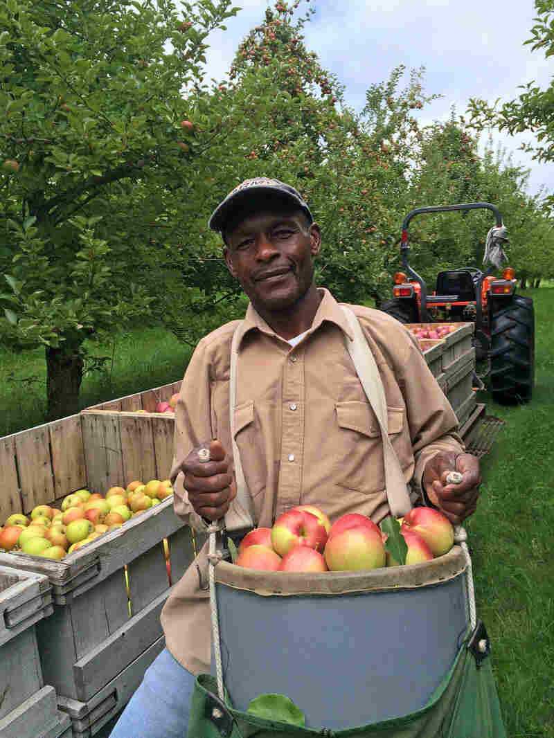 The apples at Scott Farm are picked on tall ladders, by hand, by a crew of six men. Fredson Brissett is ready to unload a basket of freshly picked Hubbardston Nonesuch. A full basket weighs over 40 pounds.