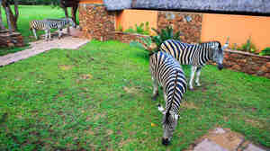 Sure, they're cute. And owning them is legal in more places than you might think. That doesn't mean buying a zebra is a good idea.
