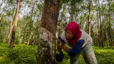 A rubber tapper makes an incision in a tree on a plantation in Indonesia.