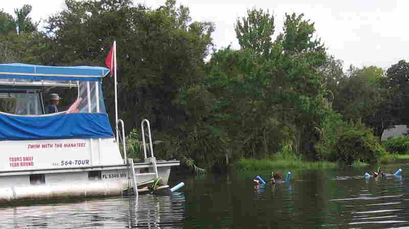 """Tours offering the chance to """"swim with the manatees"""" are a major part of Crystal River's economy. Some advocates worry that this kind of ecotourism disturbs manatees when they need to be resting."""