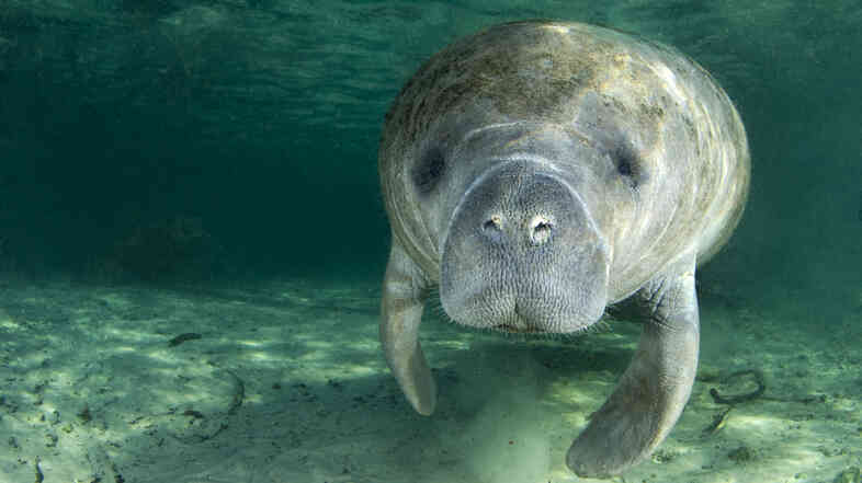 A manatee swims underwater in the springs of Crystal River, Fla. — home to a group of residents who have sued the U.S. Fish and Wildlife Service, demanding that the agency consider removing the animals from the endangered species list.