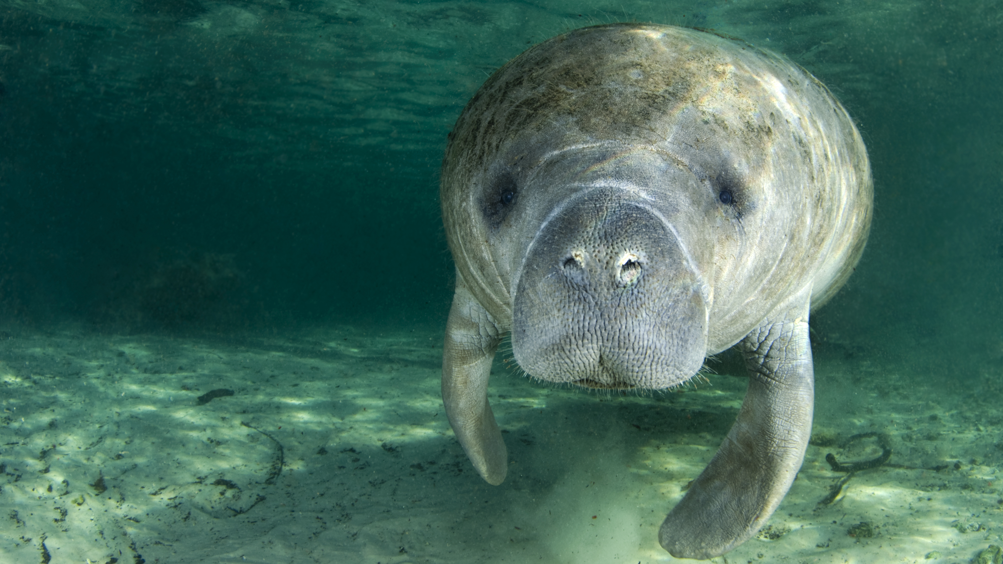 Florida's Manatees: Big, Beloved And Bitterly Contested