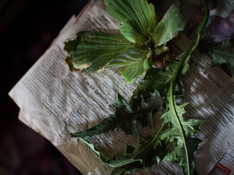 "In Nigeria, some herbalists use plants to induce abortions. These two herbs, called obyolulu and itwetu, are traditionally taken together to ""correct missed periods."""