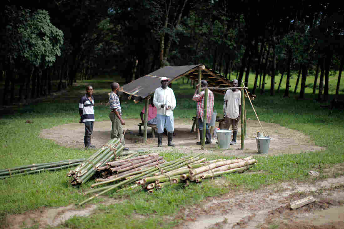 At Firestone's plantation, workers gather at a shelter in the rubber tree forest, where buckets of sap are collected for processing.