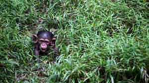 A four-month-old baby chimpanzee at the National Zoo in Kuala Lumpur, Malaysia, in February 2013.
