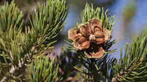 Pine nuts aren't farmed; they're harvested from forests. The nuts are hidden inside the cones of certain species of pine, such as this pinyon in Utah's Fishlake National Forest.