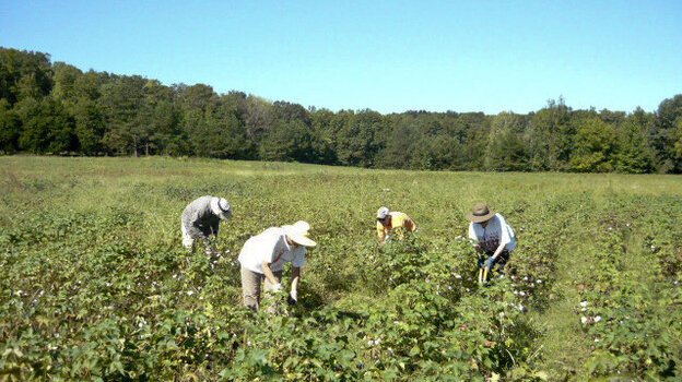 Workers tend the organic cotton plants in an experimental field in northern Alabama. The cotton was used in a field-to-garment project by two noted fashion designers.