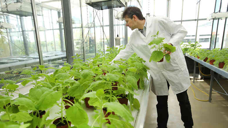 Icon Genetics' Dr. Frank Thieme selects samples of Nicotiana benthamiana, a relative of tobacco, growing in a company greenhouse in Halle, Germany. The company uses the plants to produce antibodies that could be helpful for increasing supplies of ZMapp.