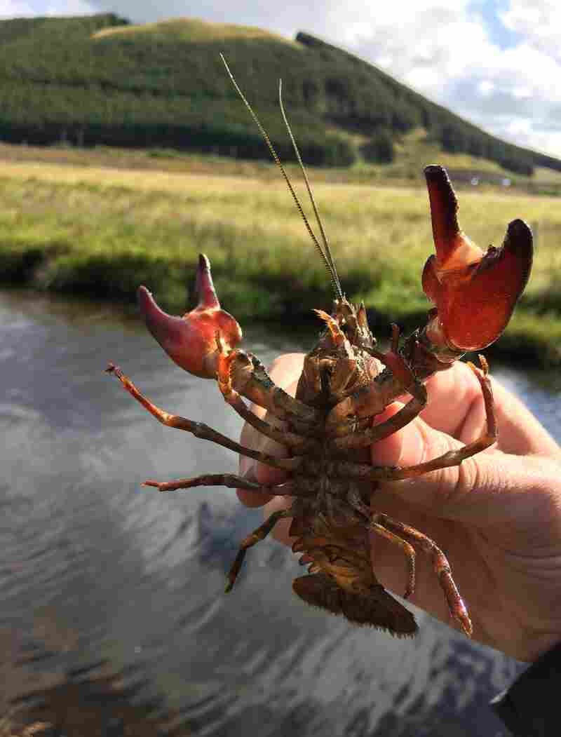North American signal crayfish were introduced into England and have made their way north to Scotland.