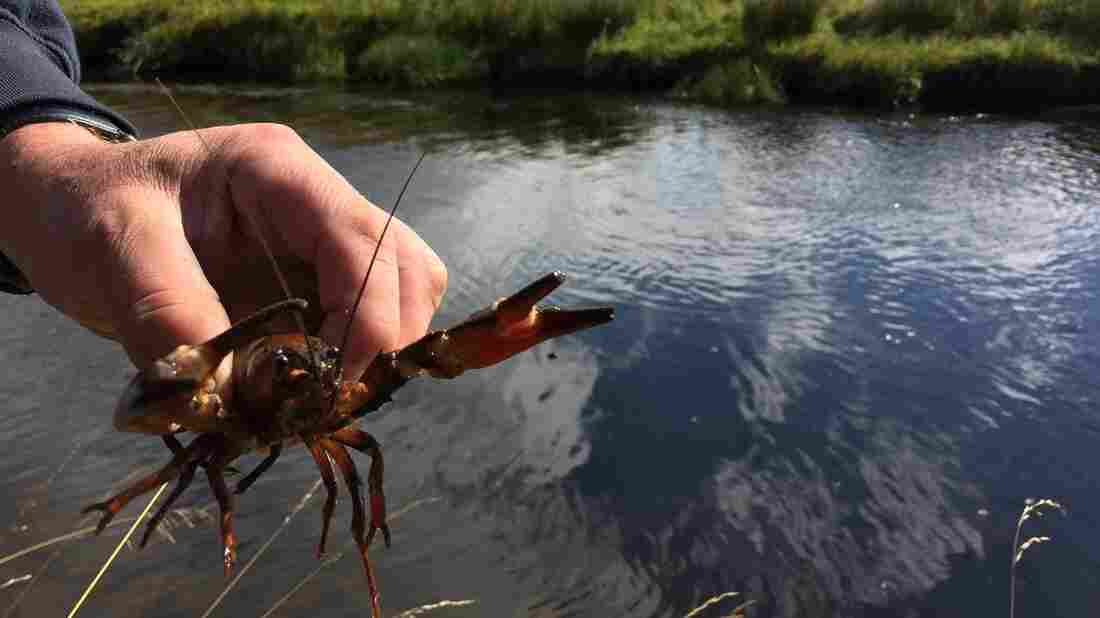 In the northwestern United States, this crayfish would be just a friendly bit of local fauna. But in Scotland, it's an invasive species wreaking havoc on trout streams.