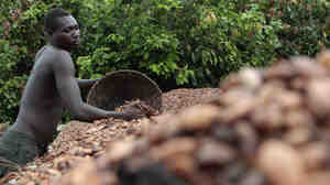 Farmer Issiaka Ouedraogo lays cocoa beans out to dry on reed mats, on a farm outside the village of Fangolo, Ivory Coast.