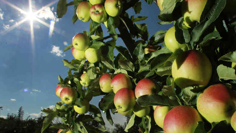 Apples were beginning to ripen Aug. 26 on trees at Carter Hill Orchard in Concord, N.H.