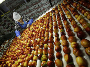 A worker removes leaves as nectarines get sorted for packaging in August 2013 at Eastern ProPak Farmers Cooperative in Glassboro, N.J.