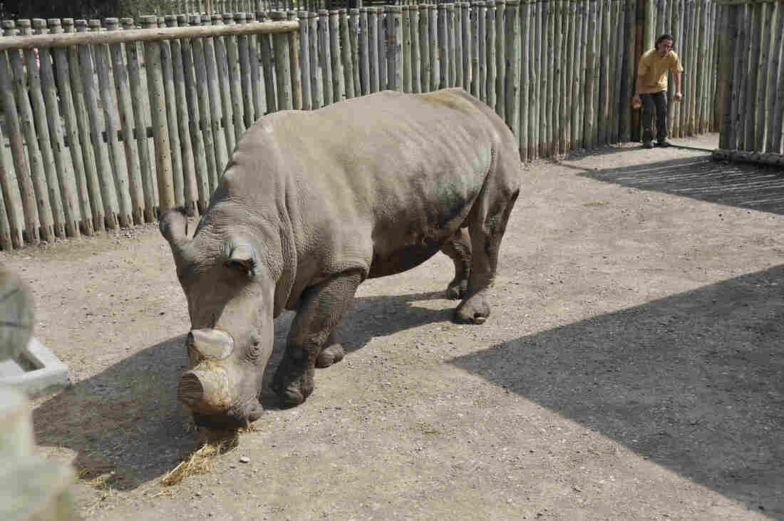 Suni back in 2009, when the rhino arrived at the Ol Pejeta Conservancy in Kenya.