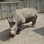One Of 7 Northern White Rhinos Left In The World Dies In Kenya